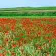 Stockfoto: Poppy field