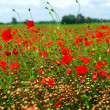 Foto de Stock  : Poppy field
