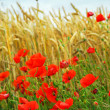 Grain and poppy field - Foto Stock