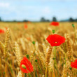 Stock Photo: Grain and poppy field