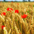 Grain and poppy field — Stock Photo