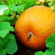 Foto Stock: Pumpkin