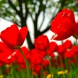 Tulip flower field — Stockfoto