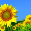 Sunflower field — Foto Stock