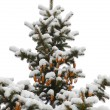 Winter spruce — Stockfoto