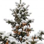 Winter spruce — Stock Photo