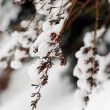 Snowy branches — Foto Stock