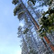 Winter pine trees — Stock Photo