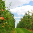Stock Photo: Apple orchard