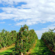 Apple orchard — Stock Photo #4824990