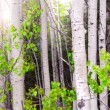 Aspen grove — Stock Photo