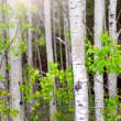 Stock Photo: Aspen grove