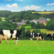 Cows in a pasture - Foto de Stock  