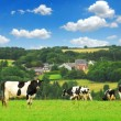 Cows in a pasture — Stock Photo