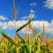 Corn field — Stock Photo #4825259