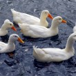 White ducks - Stock Photo