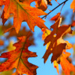Fall oak leaves — Stock Photo