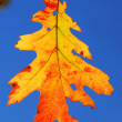 Fall oak leaf — Stock Photo