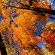 Fall maple trees - Stock Photo