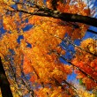 Stock Photo: Fall maple trees
