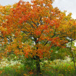 Постер, плакат: Autumn maple tree