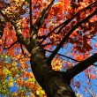 Autumn maple tree - Lizenzfreies Foto