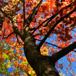 Autumn maple tree - Stockfoto
