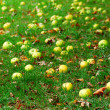 Stock Photo: Fallen apples