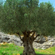 Old olive tree - Foto Stock