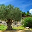 Old olive tree — Stock Photo #4825444