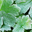 Frosty leaves — Stock Photo #4825545