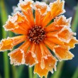 Frosty flower — Stock fotografie