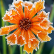 Frosty flower - Stock Photo