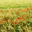 Poppies in rye — Stock Photo