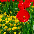 Red spring tulips — Foto Stock
