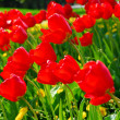 Red spring tulips — Stock Photo #4825799