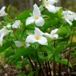 White Trillium - Stock Photo