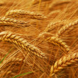 Wheat — Stock Photo #4825883