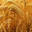 Wheat — Stock Photo #4825885