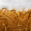 Wheat — Stock Photo #4825891