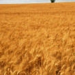 Wheat field — Stock Photo #4825893
