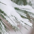 Snow on pine needles — Stock Photo