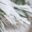 Snow on pine needles — Stockfoto