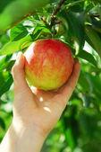 Picking an apple — Stock Photo