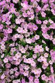 Petunia wall — Stock Photo