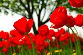 Tulip flower field — Stock Photo