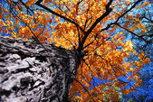 Old elm tree in the fall — Stock Photo