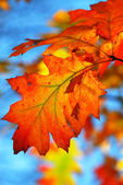 Fall oak leaves — Stock Photo