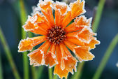 Frosty flower — Stockfoto