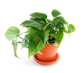 Houseplant on white background — Stock Photo